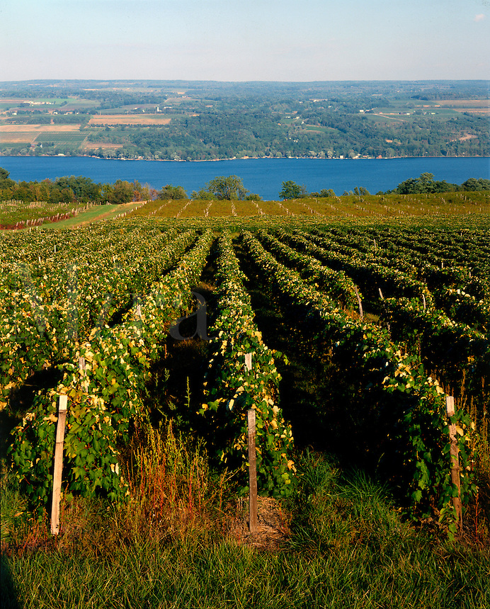 VINEYARD, ROWS OF GRAPES WITH LAKE IN BACKGROUND. NEW YORK USA FINGER LAKE REGION.