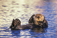 Sea otter grooms in the waters of Prince William Sound, Alaska. Sea otter fur is possibly the finest in the world.