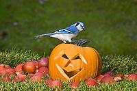 Blue Jay (Cyanocitta cristata) in autumn backyard with MacIntosh apples and Jack-O-Lantern pumpkin. Nova Scotia. Canada.