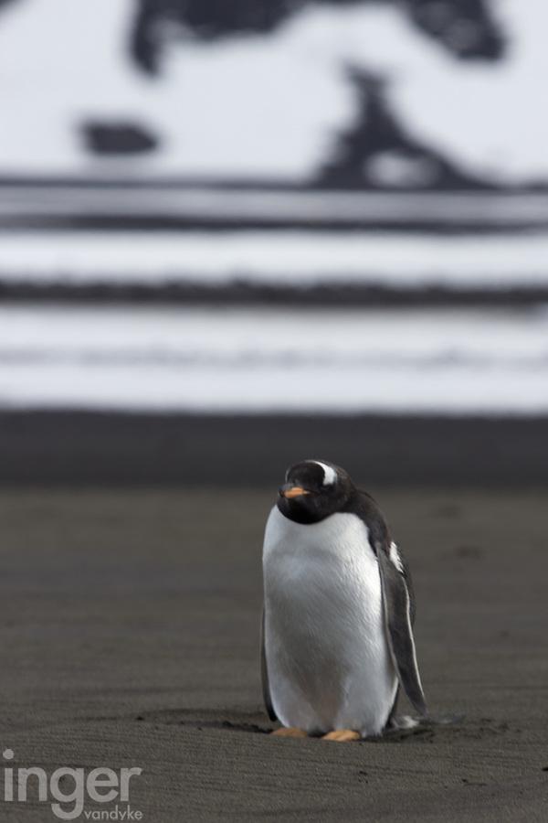 Gentoo Penguin on Corinthian Bay, Heard Island, Antarctica