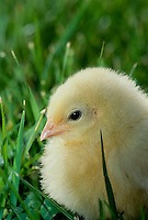 Rhode Island Red Chick in grass close up spring USA