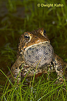 FR11-534z  American Toad Male singing for mate, Bufo americanus or Anaxyrus americanus