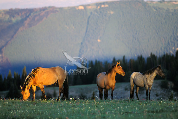 Wild horse catching the early morning light in a high mountain meadow.  Western U.S., summer..(Equus caballus)