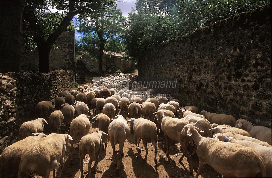 Europe/France/Midi-Pyrénées/12/Aveyron/Larzac/La Couvertoirade: Cité Templière du Larzac Marc Montagnié berger sort ses brebis de la bergerie - fromage de Roquefort