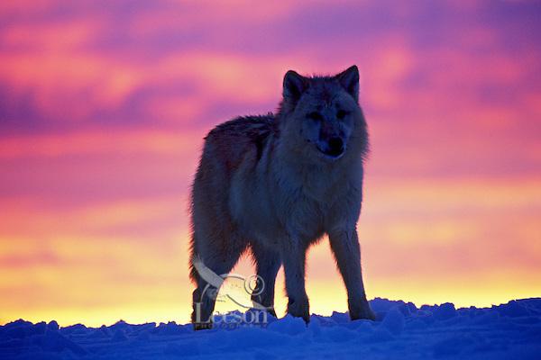 Arctic wolf (Canis lupus) against winter sunset.