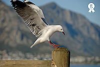 Seagull landing on pole, wings wide open (Licence this image exclusively with Getty: http://www.gettyimages.com/detail/94433142 )