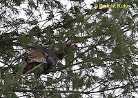 1Z09-501z  Wild Turkey roosting in tree, Meleagris gallopavo