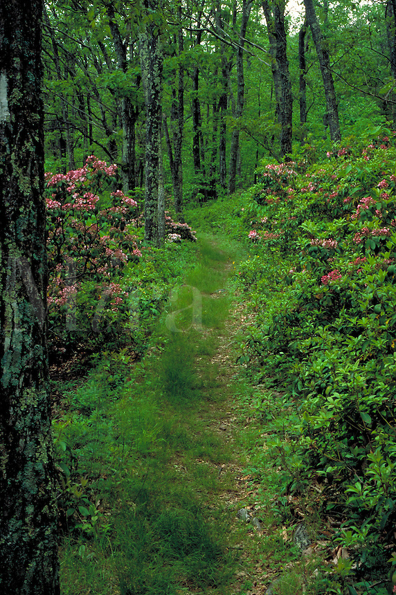 The Appalachian Trail winding through the wooded mountains of the Shenandoah National Forest in Virginia in June. National Parks, recreation, hiking. Virginia USA Shenandoah National Park.