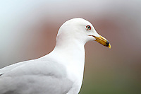 A Seagull looks towards the field during a game between the Columbus Clippers and Buffalo Bisons at Coca-Cola Field on May 31, 2012 in Buffalo, New York.  Seagulls often storm the field at the end of Bisons games to pick at food left behind by fans.  Columbus defeated Buffalo 3-0.  (Mike Janes/Four Seam Images)