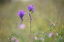 Clustered Bellflower (Campanula glomerata), Rough Bank SSSI, a flower-rich limestone grassland reserve. Gloucestershire, July.