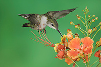 Ruby-throated Hummingbird, Archilochus colubris, female in flight feeding on Red Bird Of Paradise (Caesalpinia pulcherrima), Willacy County, Rio Grande Valley, Texas, USA, May 2006