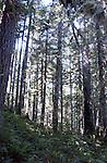 Forest of Douglas Fir trees with sunlight shinning through Oregon, forest, woods, Douglas fir, fir trees, Oregon, Pacific Ocean, Plains, woods, mountains, rain forest, desert, rain, Pacific Northwest, Pacific Ocean, Plains, woods, mountains, forest, desert, rain, Pacific Northwest, Fine Art Photography by Ron Bennett, Fine Art, Fine Art photography, Art Photography, Copyright RonBennettPhotography.com © Fine Art Photography by Ron Bennett, Fine Art, Fine Art photography, Art Photography, Copyright RonBennettPhotography.com ©
