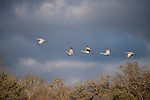 Damon, Texas; a small flock of Sandhill Cranes flying over the trees at the edge of a pasture in late afternoon sunlight