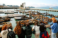 California Sealions (Zalophus californianus), Pier 39, San Francisco, California