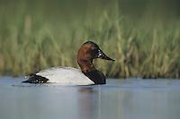 Canvasback (Aythya valisineria), male swimming, Sinton, Coastel Bend, Texas, USA