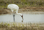 Whooping Crane and Blue Crab showdown