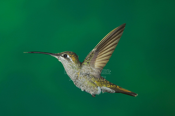 Magnificent Hummingbird, Eugenes fulgens, female in flight, Paradise, Chiricahua Mountains, Arizona, USA, August 2005
