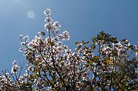 Campinas (SP), 31/08/2020 - Clima - Na foto Florada de Ipe branco. A expectativa é de uma mudança no tempo no último dia do mês. O deslocamento de uma frente fria do Sul para o Sudeste, vai ajudar a levar mais umidade para as áreas do sul e leste de São Paulo nesta segunda-feira (31).  <br /> A tendência para a segunda-feira (31)  em Campinas (SP) ainda é de predomínio de sol, com algumas nuvens. As temperaturas ficam entre 18ºC e 30ºC, segundo a previsão do Cepagri (Centro de Pesquisas Meteorológicas e Climáticas Aplicadas à Agricultura), da Unicamp.