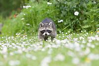 """Waschbär, knapp 3 Monate altes Jungtier, verwaistes, pflegebedürftiges Jungtier wird in menschlicher Obhut großgezogen und spielt im Garten, Tierkind, Tierbaby, Tierbabies, Waschbaer, Wasch-Bär, Procyon lotor, Raccoon, Raton laveur, """"Frodo"""""""