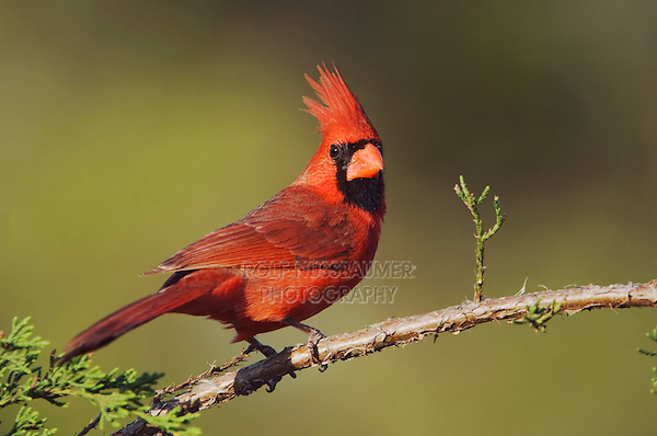 Northern Cardinal, Cardinalis cardinalis, male on Mountain Cedar (Juniperus ashei), Uvalde County, Hill Country, Texas, USA