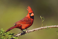 Northern Cardinal, Cardinalis cardinalis, male on Mountain Cedar (Juniperus ashei), Uvalde County, Hill Country, Texas, USA