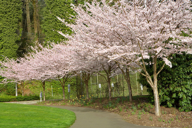 Cherry trees blooming at Portland Rose Gardens. Portland. Oregon