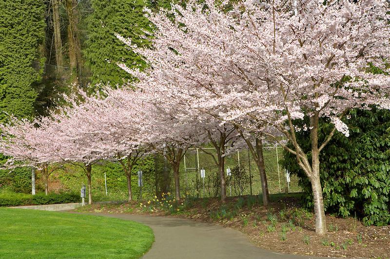 Cherry trees blooming at Portland Rose Gardens. Portland. Oregon