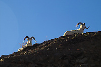 Two Dall sheep rams enjoy the setting sun at Denali National Park.