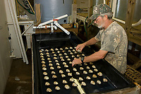 A biologist carefully places clams (Mercenaria mercenaria) on an open tray in preparation for a controlled spawning process.