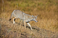 Coyote waking down a slope, hunting in Yellowstone
