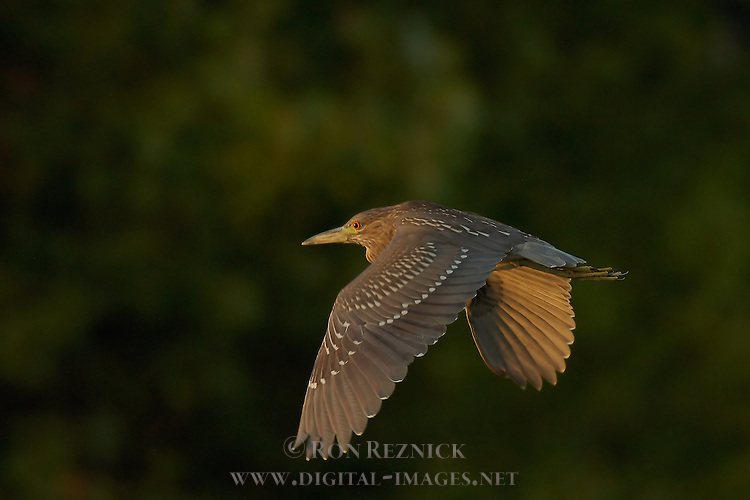 Black-crowned Night Heron Juvenile in Flight at Sunset, Sepulveda Wildlife Refuge, Southern California