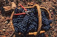 Europe/France/Centre/37/Indre-et-Loire/Azay-le-Rideau: Panier des vendanges - Cépage Grolleau - Panier de grappes de raisins rouges