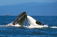 killer whale, Orcinus orca, and gray whale, Eschrichtius robustus, gray whale calf being rammed by hunting & attacking killer whale, Monterey Bay National Marine Sanctuary, California, USA, Pacific Ocean, 2 of 4