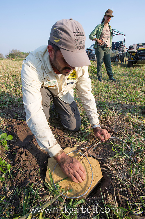 Project Oncafari vet, Joares May tests the pad of the specially designed jaguar snare trap, the design of which has been perfected to cause zero harm to the jaguar. Caiman Lodge, Oncafari Project, southern Pantanal, Mato Grosso do Sul, Brazil.