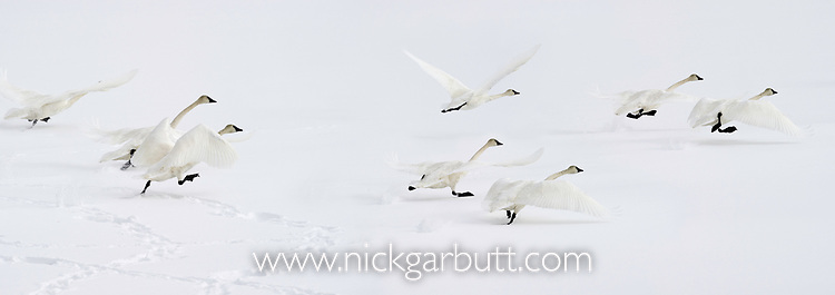 Herd of trumpeter swans (Cygnus buccinator) taking off from the frozen surface of the Upper Yellowstone River. Hayden Valley, Yellowstone National Park, Wyoming, USA, February. Digital composite.