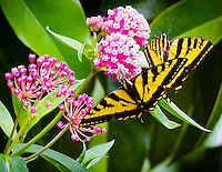 Gift card photo of two Tiger Swallowtail Butterflies (Papilio rutulus) are seen on a milkweed platn (Asclepias syriaca) in a garden.