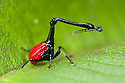 Giraffe necked weevil {Trachelophorus giraffa} male on leaf of Dichaetanthera cordifolia, on which it feeds. Tropical rainforest, Mantadia NP, Madagascar