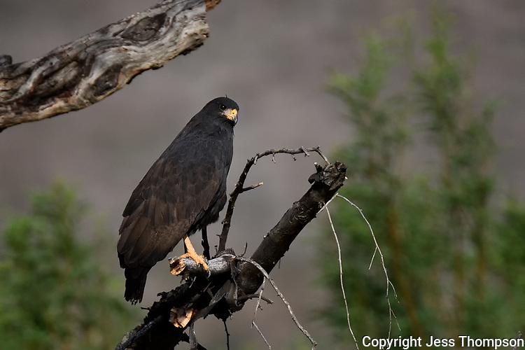 Common Black Hawk, Big Bend National Park