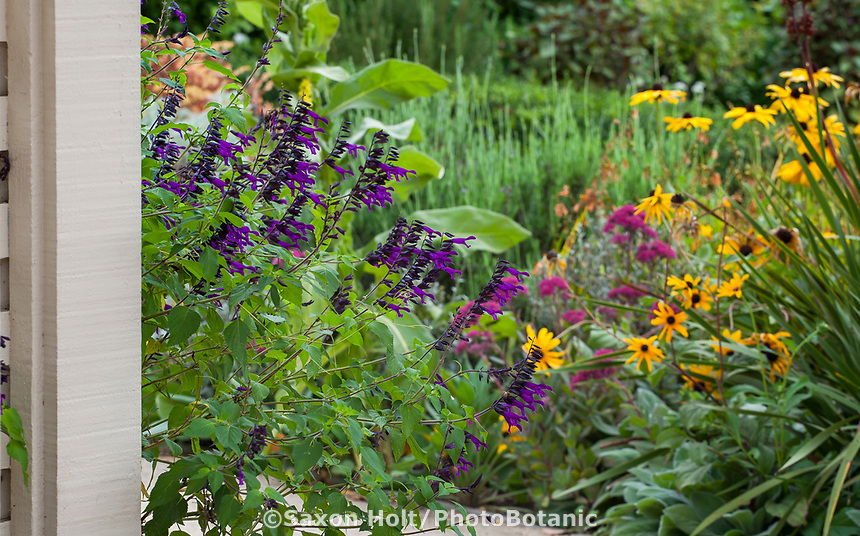Salvia 'Amistad' Friendship Sage flowering in Gamble Garden, Palo Alto, California