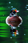 Rare colourful duck spotted in India by Saurabh Sirohiya