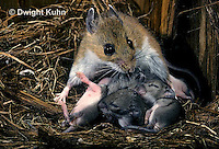 MU27-031z   White-Footed Mouse - with 9 day young - Peromyscus leucopus