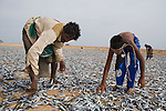 Indian Oil Sardine (Sardinella longiceps) harvest spread out by fisherman to be dried for three days and subsequently fed to Dromedaries (Camelus dromedarius), Hawf Protected Area, Yemen