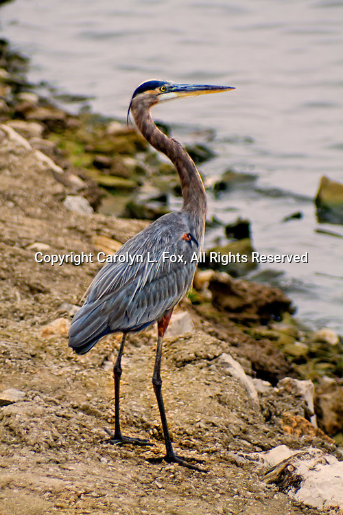 A Great Blue Heron stands next to the water.