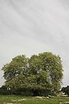 Israel, Jezreel Valley, Mount Tabor Oak (Quercus ithaburensis) by Tel Shimron