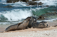 Hawaiian monk seals, Neomonachus schauinslandi, Critically Endangered endemic species, a 7-year-old male (RI11), on the left, challenges a 5 year old male (R036), at right, at beach on west end of Molokai, Hawaii; a female (R318) passes by in background;