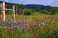 Rustic barb wire fence is surrounded by a vivid colorful wildflower field of Bluebonnets, Indian Blanket Firewheels and colorful Yellow Daisy Coreopsis; Gaillardia wildflowers in the Texas Hill Country - Stock Image