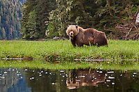 Grizzly Bear standing and eating in the Khutzeymateen Valley
