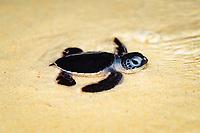 green sea turtle, Chelonia mydas, hatchling, Sipadan, Sabah, Borneo, Malaysia, Celebes Sea, Indo-Pacific Ocean