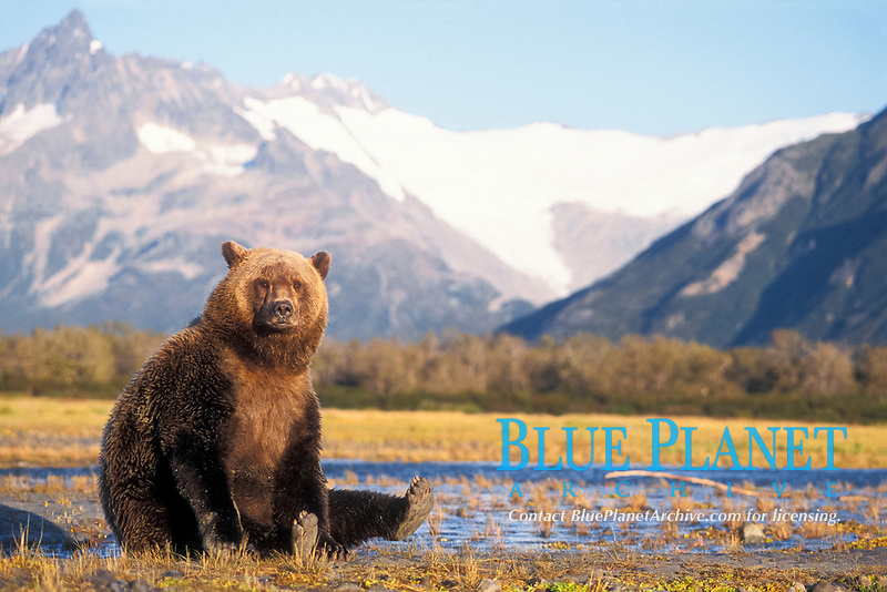 brown bear, Ursus arctos, grizzly bear, Ursus horribilis, stretching in riverbed with mountain range in background, east coast of Katmai National Park on the Alaskan peninsula