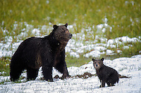 Grizzly Bear with one of two cubs, Yellowstone National Park